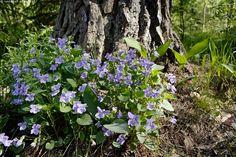 Metsäorvokki, Viola Riviniana - metsäorvokki Viola riviniana kevät kukka metsä kukkia lehto kukinto kasvi kasvusto mätäs kukinto kasvupaikka luonto