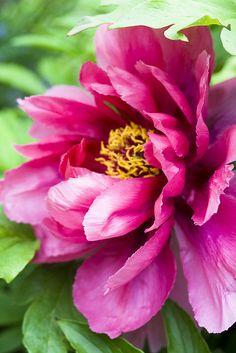 Silk Kimono Tree Peony by iris-flower Iris Flowers, Peony Flower, Flower Art, Pink Flowers, Planting Flowers, Peony Painting, Watercolor Flowers, Amazing Flowers, Beautiful Flowers