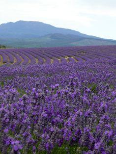 A Lavender Farm in Nabowla, Tasmania, Australia