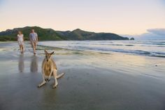 Queensland Bucket List | 20. Watch the kangaroos on the beach at Cape Hillsborough National Park.