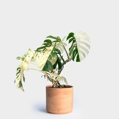A variegated monstera is available seasonally from Greenery NYC. For prices and availability, see Greenery NYC.