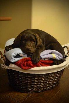 Awww... #Labrador #puppy