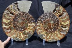 FREE USA Shipping Dinosaur Fossil Pair ammonite by Paulstaberminerals, $284.99