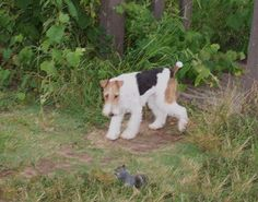 What IS that??? Fox Terriers, Wire Fox Terrier, My Animal, Babies, Pets, Nature, Pictures, Animals, Photos