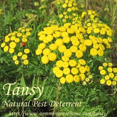 Tansy, Tanacetum vulgare - Weekly Weeder #43 - range and identification, wildlife uses, uses for food and medicine. Use as a garden companion plant and pest repellent.