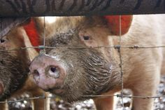 Eco-Gites of Lenault: Animal Tales 1.  Nowt so happy as a pig in ...