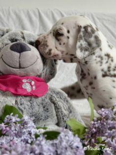 Dalmatiner Welpen aus Berlin (VDH) in Berlin - Zehlendorf   Dalmatiner und Dalmatinerwelpen kaufen   eBay Kleinanzeigen