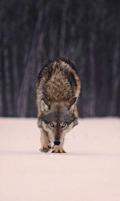 Wolf |