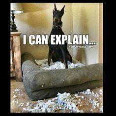 Doberman - I can explain