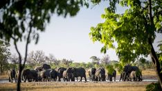 """""""#DensityDustDrama .... That just about encapsulates our experience at Little Makalolo in Hwange last week. At the waterhole in front of camp we watched as streams of elephants came from the surrounding woodland; we counted a min of 500 on one day! Of course other wildlife has to get in either before, after or in between them ... sometimes risking less safe times of the day (as a poor kudu who was killed by a hyaena early one morning experienced). For the more aggressive species - like zebra… Your Turn, Zimbabwe, Elephants, Wilderness, Woodland, Safari, National Parks, Wildlife, Drama"""