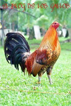 Gallo de Pelea
