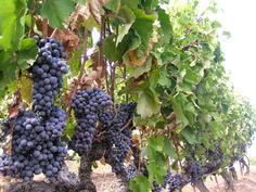 Greece wine grapes. Looks good!