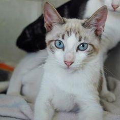 LISSY - Gato adoptado - AsoKa el grande