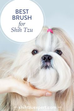 How to find the best brush for Shih Tzu? A cute Shih Tzu girl posing in a waiting position to be groomed Dog Haircuts, Dog Grooming Tips, Best Brushes, Group Of Dogs, Shih Tzu Puppy, Shih Tzus, Dog Shampoo, Training Your Puppy, Dog Hacks