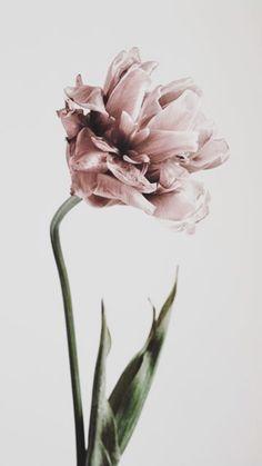 Pink Tulipe Plakat i gruppen Plakater / Botanik hos Desenio AB Gold Poster, Buy Posters Online, Prints Online, Posters Uk, Groups Poster, Pink Tulips, Modern Art Prints, Poster Making, Botanical Prints