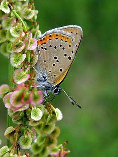 occhi della farfalla