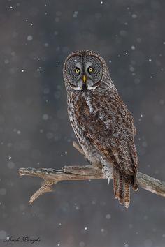 Falling snow by Ari Hazeghi on Great Grey Owl Owl Photos, Owl Pictures, Owl Bird, Pet Birds, Strix Nebulosa, Great Grey Owl, Beautiful Owl, Gray Owl, Wise Owl