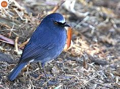 ☎️ https://www.facebook.com/WonderBirdSpecies/ 🍒🍒 White-bellied blue robin (Sholicola albiventris); Endemic to southern India ; 📚 IUCN Red List of Threatened Species 3.1 : Endangered (EN)(Loài nguy cấp) 🐥 Oanh lam bụng trắng; Loài đặc hữu miền nam Ấn Độ; HỌ ĐỚP RUỒI CỰU THẾ GIỚI - MUSCICAPIDAE (Old World Flycatchers).