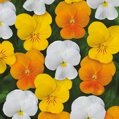 Viola Sorbet Citrus Mixed XP Seeds ONLY from Mr Fothergill's Seeds and Plants. Small cheerful flowers in lovely citrus colours. Little Flowers, My Flower, Yellow Flowers, Flower Pots, Johnny Jump Up, Planting Plan, Flower Center, Plant Sale, Colorful Garden