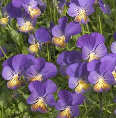 Viola 'Ardross Gem' : Beautiful blue & gold flowers, 2.5cm. across. Very compact foliage which forms neat evergreen mats, 30cm. across on an established plant.  (EG 2013)