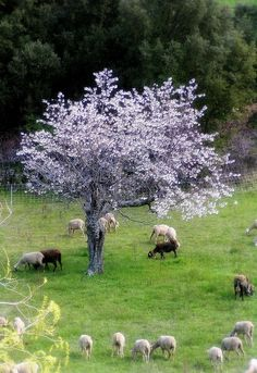 Country Spring with sheep and purple blossoms