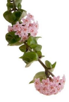 The Wax Plant - Hoya Bella