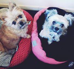 Ruby and Gracie looking so cute #pom #pomcrossmaltese #dogsofinstagram #suzspetservices #petsittingadventures #wagga - http://ift.tt/1HQJd81