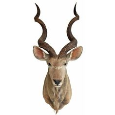 Vintage Taxidermy African Kudu Head ($1,795) ❤ liked on Polyvore featuring home, home decor and decorative objects