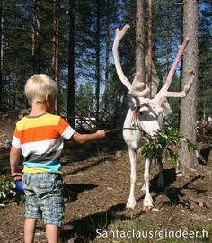 Male reindeer growing new horns during summertime in Lapland
