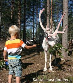 Santa Claus Reindeer photo: Santa Claus Reindeer in Rovaniemi in Lapland in Finland – Male reindeer growing new antlers in summertime Finland Culture, Reindeer Photo, Santa Claus Village, Lapland Finland, Visit Santa, Arctic Circle, Father Christmas, Time Travel, Summertime