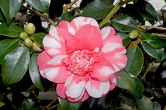 camellia japonica hd wallpapers
