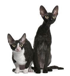 Two Cornish Rex cats, 7 months old, sitting in front of white background by Lifeonwhite. Two Cornish Rex cats, 7 months old, sitting in front of white background Cornish Rex Kitten, Cornish Rex Cat, Selkirk Rex, Cute Cats And Kittens, Kittens Cutest, Domestic Cat Breeds, Devon Rex Cats, Cat Background, Owning A Cat