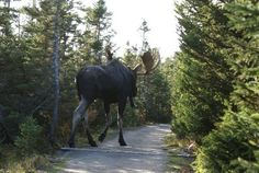 MOOSE!  Look at the size of it!