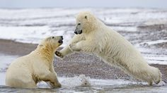 Young Polar Bears Playing, ANWR, Alaska