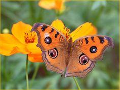 fotofreddy: papillon du Vietnam.