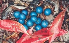 Blue Quandong is new fruit to add to my bucket list. The contrasting colour of the berries to leaves entices my senses.