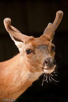 Deer whiskers by paulgillphoto, via Flickr