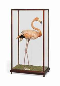 Taxidermy mounted flamingo, late 19th century