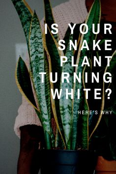 Whitening leaves on snake plants are surprisingly common, but there can be a few reasons why it is happening. Check out these great snake plant care tips to pinpoint any nutritional or care deficiencies in your snake plants. House Plant Care, House Plants, Gardening For Beginners, Gardening Tips, Pothos Plant Care, Trees To Plant, Plant Leaves, Snake Plant Care, Indoor Plants