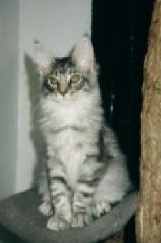 Maine Coon: GC, RW Koontucky MacMarvelous, owned by Koontucky Coons
