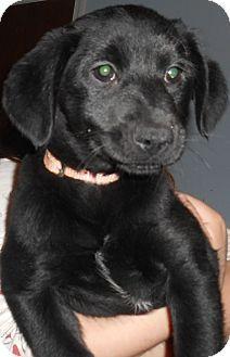 Richmond Va Labrador Retriever Mix Meet Bishop A Puppy For