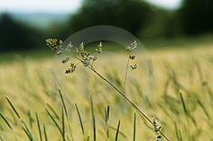 Grass Summer Field Free Stock Photos