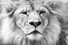Lion - black and white @tarongazoo