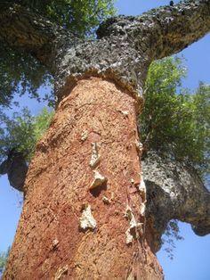 cork season  #BoutiqueHotelPoejo #Marvao #Alentejo #Portugal www.a-opoejo.com #travel #hotel