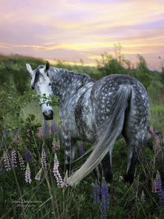 Beautiful dark Dapple Grey mare with cute white spots standing in a field of wildflowers at sunset. Very pretty horse and flowers. orlovtrotter: By: Журавлева Ирина