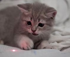 Why Cats Love Laser Pointers?