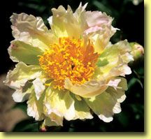 This is one UNUSUAL peony with single, cactus-flower dahlia type that are white with lime-green streaking and tinges of soft pink & a real collector's plant! Exotic Flowers, Real Flowers, Amazing Flowers, Beautiful Flowers, Spring Bulbs, Different Flowers, Flower Art, Cactus Flower, Day Lilies
