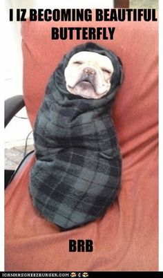 cute french bulldog | Has A Hotdog - french bulldog - Loldogs n Cute Puppies - funny dog ... I IS BECOMING A BEAUTIFUL BUTTERFLY BRB Limited Edition French Bulldog Tee Cute Puppies, Cute Dogs, Dogs And Puppies, Doggies, Baby Dogs, Funny Dogs, Funny Animals, Cute Animals, Wooly Bully