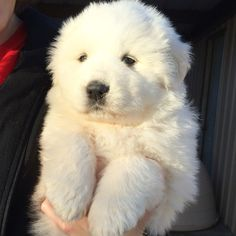 Great Pyrenees puppy - Tap the pin for the most adorable pawtastic fur baby apparel! You'll love the dog clothes and cat clothes! <3