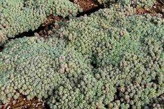SEDUM 'Purple Form' (hispanicum var. minus ) – Orpin – Stonecrop | Jardins Michel Corbeil
